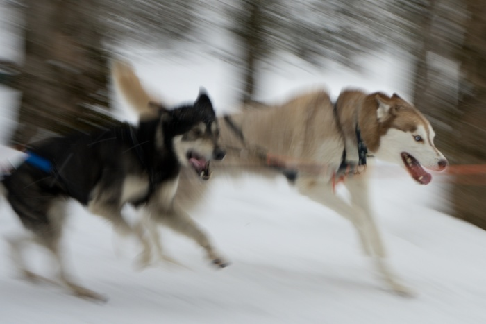 Schlittenhunderennen im Wald in Kandersteg